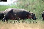 HIPPOPOTAMUS (Hippopotamus amphibius), Akagera National Park, Rwanda, 1990