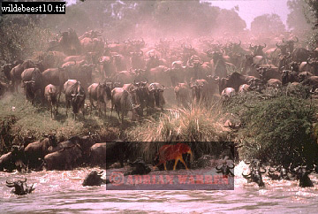 Blue WILDEBEEST (Connochaetes taurinus) River Crossing, Masai Mara, Kenya, 1982