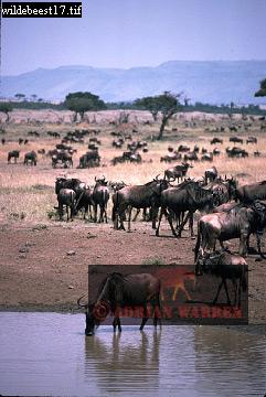 Blue WILDEBEEST (Connochaetes taurinus), Masai Mara, Kenya, 1982