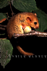 Dormouse (Muscardinus avellanarius), UK