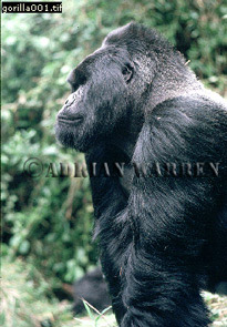 Mountain Gorilla Image Gallery