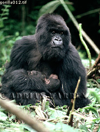 Mountain Gorillas (Gorilla g. beringei) : mother with baby in her arms