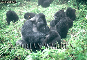 Mountain Gorillas (Gorilla g. beringei), group  resting with mother playing with baby in foreground