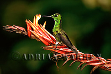 Green-crowned Brilliant Hummingbird (Heliodoxa jacula), Costa Rica