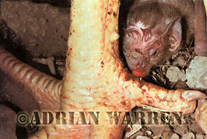 Vampire Bat feeding on chicken, Desmodus rotundus, Trinidad
