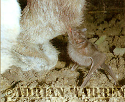 Vampire Bat feeding on donkey, Desmodus rotundus, Trinidad