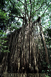 STRANGLER FIG, Daintree, Queensland, Australia