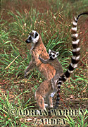 Ring-tailed Lemurs (Lemur catta) mother and baby