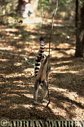 Ring-tailed Lemur (Lemur catta), male scent marking